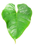 Heart shaped exotic plant leaf Stock Photography