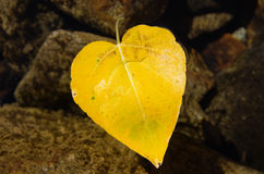 Heart Shaped Fall Leaf Royalty Free Stock Photography