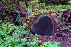 Heart shaped fallen tree in California stock images