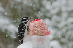Heart shaped feathers on woodpecker Stock Photos