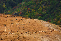 Heart shaped. Flock of sheep on meadow royalty free stock photos