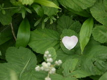Heart shaped flower petal. Heart shaped petal Stock Images