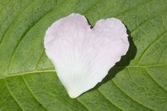 Heart shaped flower petal. White heart shaped petal on green leaf Royalty Free Stock Photos