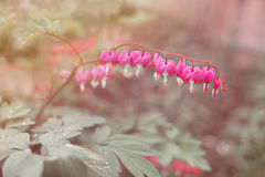 Heart shaped fuschia flowers. Dicentra spectabilis or broken heart Stock Image