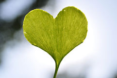 Heart-shaped ginkgo leaf Stock Photo