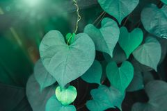 Heart shaped green crinkly leaf of coral vine or chain of love stock photography