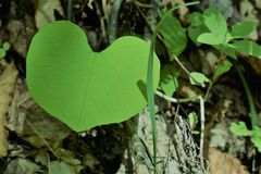 Heart shaped leaf. Heart shaped green foliage in Royalty Free Stock Photos