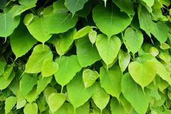 Heart-shaped green leaf. Background stock image