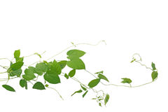 Heart shaped green leaf climbing vines liana plant isolated on w. Hite background, clipping path included. Cowslip creeper the medicinal plant Stock Photos