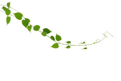 Heart shaped green leaf climbing vines plant isolated on white b. Heart shaped green leaf climbling vines plant isolated on white background, clipping path Stock Photos