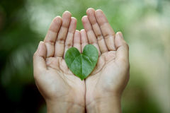 Heart shaped green leaf. Hands holding a heart shaped green leaf Royalty Free Stock Photo