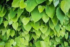 Heart-shaped green leaf. Background royalty free stock images