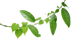 Heart shaped green leaf vine twisted around long green leaf vine Royalty Free Stock Images
