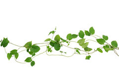Heart shaped green leaf vines isolated on white background, clip. Ping path included. Cowslip creeper, medicinal plant Stock Photo