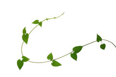 Heart shaped green leaf vines isolated on white background, clip. Ping path included. Cowslip creeper, medicinal plant Stock Photos