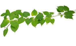 Heart shaped green leaf vines isolated on white background, clip Royalty Free Stock Photography