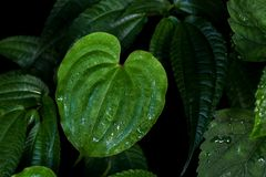 Heart shaped green leaf with water drops after rain of climbing Royalty Free Stock Photography