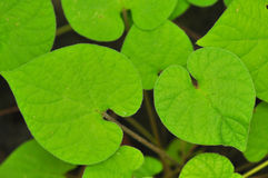 Heart-shaped green leaves Stock Image