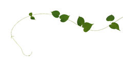 Heart shaped green leaves climbing vine isolated on white backgr. Ound, clipping path included. Cowslip creeper, medicinal plant Stock Images