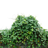 Heart shaped green leaves climbing wild vines obscure morning g Royalty Free Stock Photography
