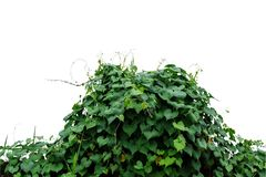 Heart shaped green leaves climbing wild vines obscure morning g Royalty Free Stock Photo