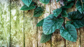 Heart shaped green leaves and rustic wood fence Royalty Free Stock Photo