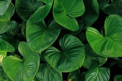 Heart shaped green leaves of Homalomena plant growing in wild, tropical leaf nature pattern on dark background.  stock photography