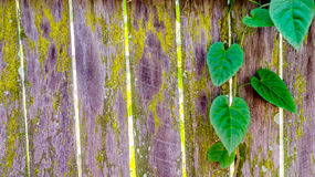 Heart shaped green leaves and rustic wood fence Royalty Free Stock Photos