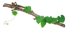 Heart shaped green leaves vine climbing on tree branch isolated Stock Image