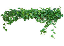 Heart shaped green leaves vine, devil`s ivy, golden pothos, isol. Ated on white background, clipping path included Royalty Free Stock Photos