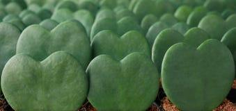 Free Heart Shaped Green Succulent Leaves Pattern Of Wax Plant A.k.a. Hoya `Sweetheart` Hoya Kerrii Small Potted Houseplant, Live Stock Photo - 168547130