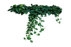 Heart-shaped green variegated leaves of devil's ivy or golden stock photography