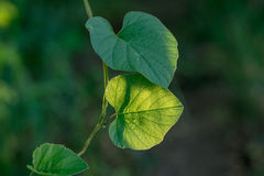 Heart-shaped of green vine leaf. Stock Image