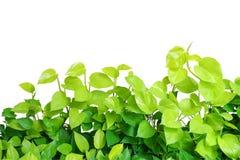 Heart shaped green yellow leaves vine, devil's ivy, golden potho Stock Photos