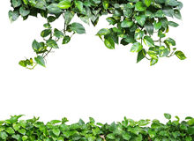 Heart shaped green yellow leaves vine, devil's ivy, golden potho Stock Photography