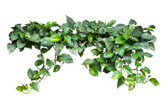 Heart shaped green yellow leaves vine, devil's ivy, golden potho Royalty Free Stock Photos