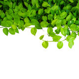 Heart shaped green yellow leaves vine, devil's ivy, golden potho Royalty Free Stock Image