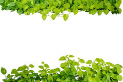Heart shaped green yellow leaves vine, devil's ivy, golden potho Royalty Free Stock Photography