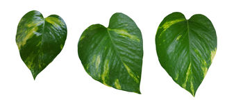 Heart shaped green yellow vine leaves set, devil's ivy, golden p royalty free stock photography