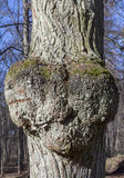 Heart shaped growth on tree. Royalty Free Stock Photo