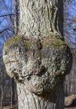Heart shaped growth on tree. Royalty Free Stock Photo