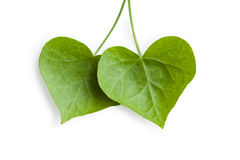 Heart-shaped ivy leaves royalty free stock photo
