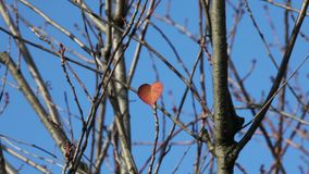 Heart-shaped last leaf. Heart-shaped leaf of redbud tree in fall time stock video