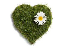 Heart shaped lawn sod with big daisy flower. Lawn sod in heart shape with daisy flower, isolated on white royalty free stock image