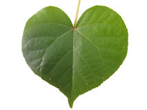 Heart shaped leaf. A heart-shaped leaf taken from a sea almond plant isolated on a white background Royalty Free Stock Photo