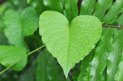 Heart shaped leaf Royalty Free Stock Photos