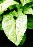 Heart Shaped Leaf. A heart shaped leaf on a plant.  New growth during the spring Stock Image
