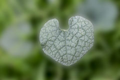 Heart shaped leaf background. Heart shaped leaf beauty background Royalty Free Stock Photos