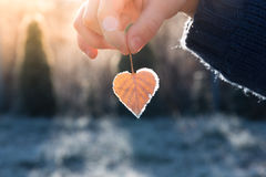 Heart shaped leaf. Child& x27;s hand holding a heart shaped leaf with a frost on its edges illuminated by warm light of setting sun stock photos