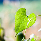 Heart-shaped leaf. In day Royalty Free Stock Image